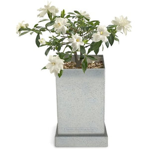 Bonsai Box- Gardenia