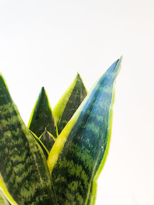 Sanseveria Futura Superb