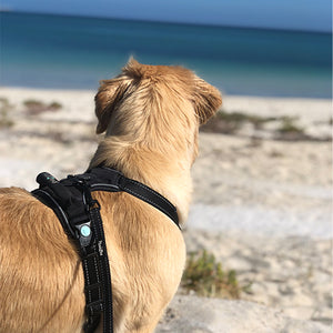 Dog wearing Huskimo Dark Sky Ultimate Harness at the Beach