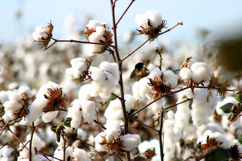 pure parima certified hand picked egyptian cotton