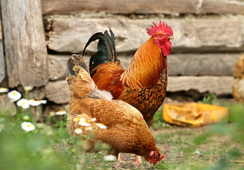 chickens, raising chickens, how-to chicken coop, chicken composting, chicken compost, chickens pros cons, chicken composting instructions