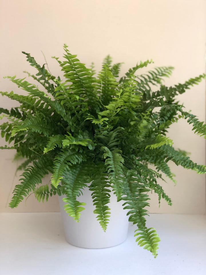 "Nephrolepis Exaltata ""Boston fern"""
