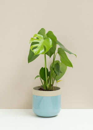 Monstera Deliciosa 'Cheese Plant'