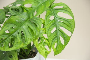 Monstera Adansonii  'Monkey Mask'