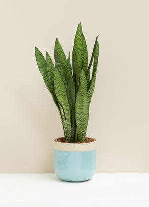 Sansevieria Zeylanica,  'Mother in Law's Tongue'