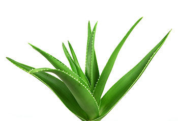 Aloe Vera and Benefits to the Vagina