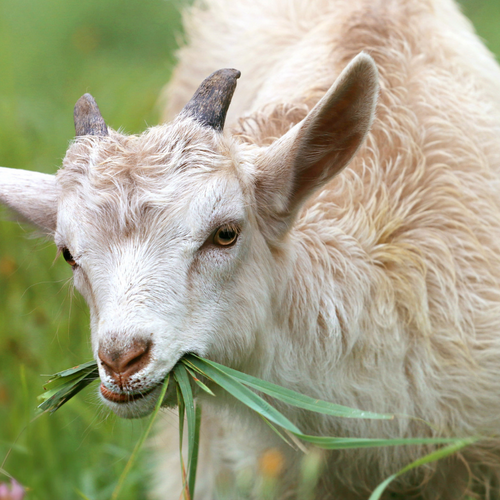 Goat is glorious – feeling baafled?