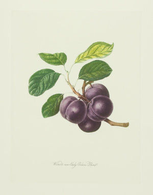 Pflaumen, Wilmot's new Early Orleans Plum
