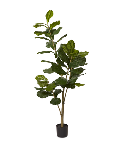 Fiddle Fig Tree - Multiple heights