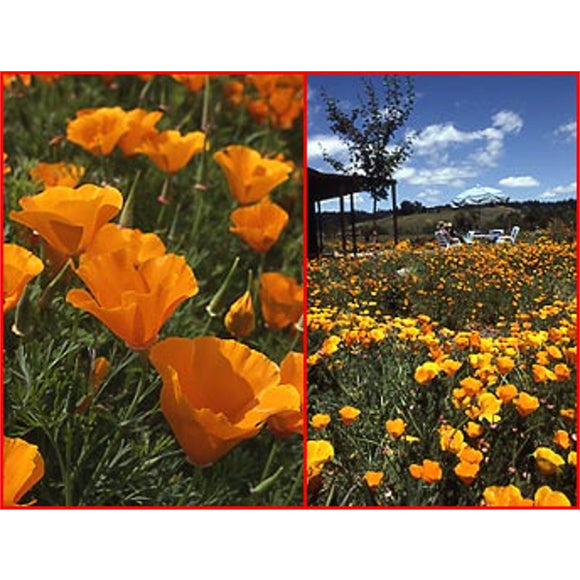 California Poppies Wildflower Seed