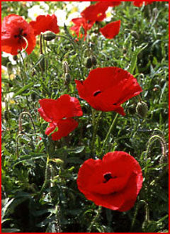Flanders Field Poppies Wildflower Seed