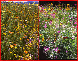 Low Growing Meadow Wildflower Seed Mix