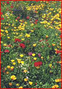 Northeast Wildflower Seed Mix