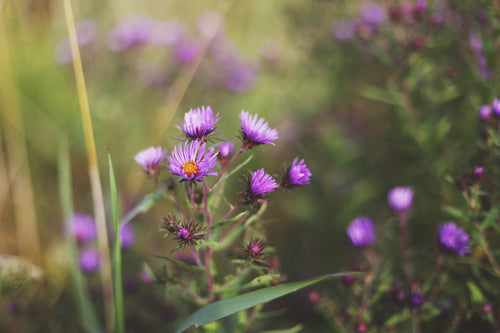 New England Aster Tincture