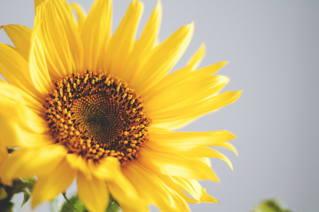 Yellow sunflower | How to Apply Facial Oils