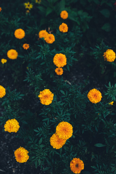 Marigold flowers | Our Favorite Ways to Reduce Redness on Your Face