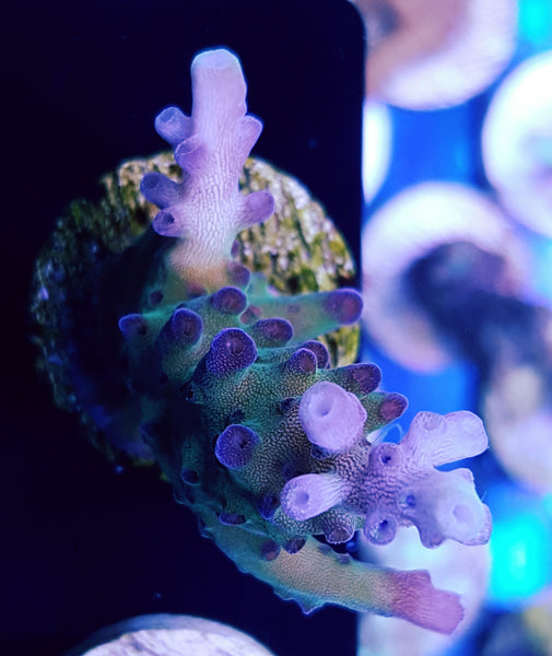 DBA Blueberry Fields Acropora