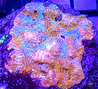 DBA The Milky Way Chalice coral