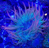 Ultra Rainbow Bubble Tip Anemone