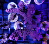 Strawberry Lemonade  Acropora