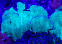 Green Apple Plating Montipora