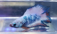 Double Tail Betta 201