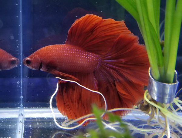Halfmoon Super Red Rose Petal Male Betta 913