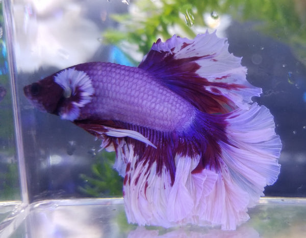 Halfmoon Male Betta 915