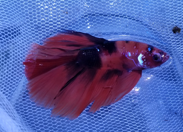 Halfmoon Galaxy Male Betta 912