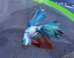Halfmoon Galaxy Male Betta 903