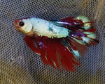 Halfmoon Galaxy Male Betta 905