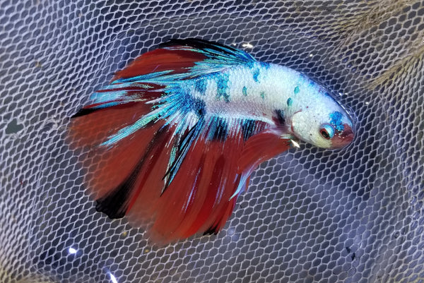 Halfmoon Galaxy Male Betta 907