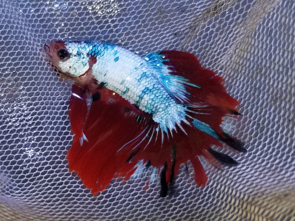Halfmoon Galaxy Male Betta 911