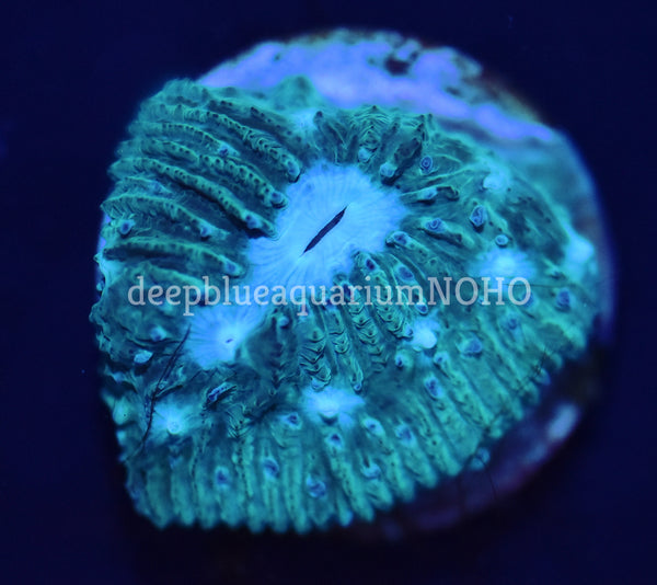 Blue Eye Lithophyllon Chalice