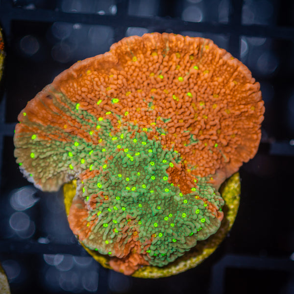 Sunfire Grafted Montipora