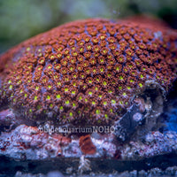 Red and Yellow Goniopora