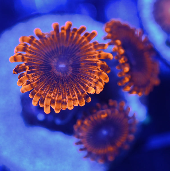 Fire Eclipse Zoanthids