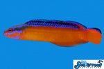 Neon Dottyback