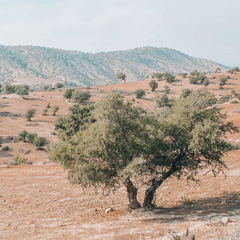 Argan tree within the sustainable argan biosphere in Agadir, Morocco, where youforher's argan oil is made