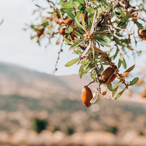 Sustainable argan tree with argan fruit in Morocco, which will be picked to make organic argan oil