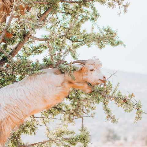youforher goats in the argan tree