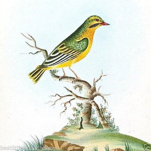 YELLOW FINCH Bird Lithograph Print 1920s