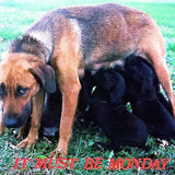 MUST BE MONDAY Dog Postcard 1970s