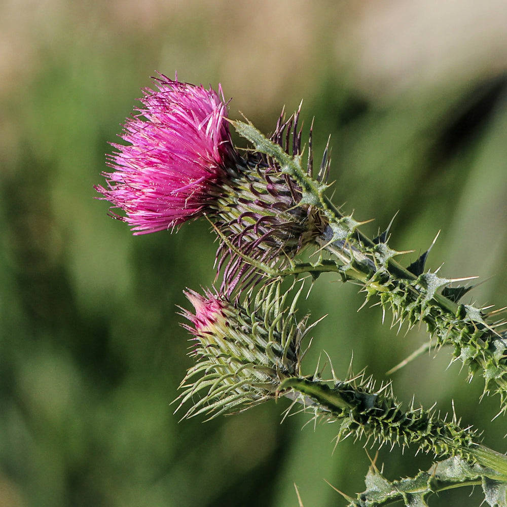 Load image into Gallery viewer, 奶薊 MILK THISTLE