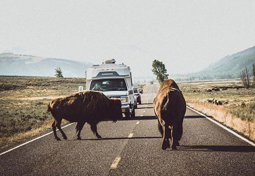 Bisons are in the middle of the road during roadtrip