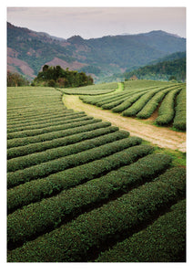 Mae Salong Tea Plantations, Thailand (42x59cm)