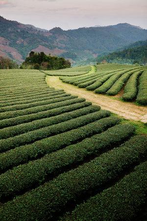 Mae Salong Tea Plantations, Thailand