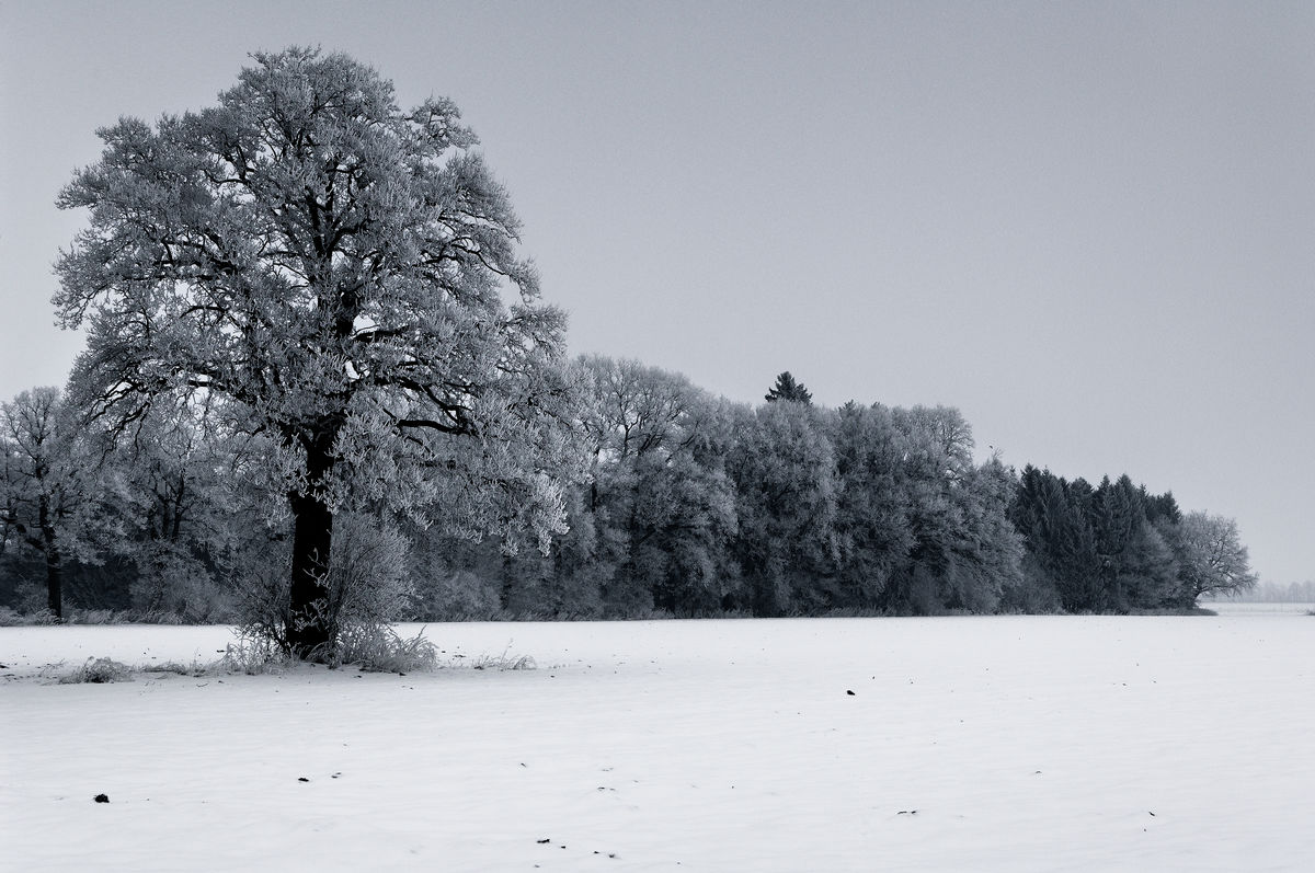 Dark Frosted Trees