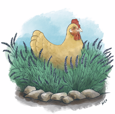 Lavendar and Buff Orpington drawn while listening to Haley Hendrerickx