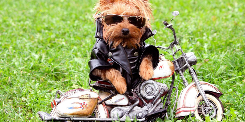 Dog Biker Fashion